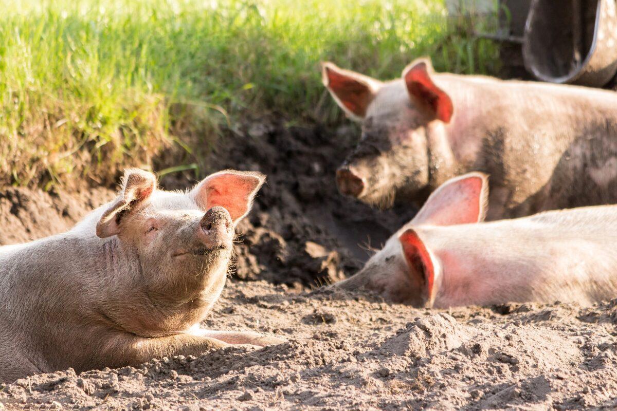 Pestă porcină africană confirmată într-o gospodărie din localitatea Stremț